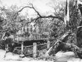Arbre brisé par le cyclone Alix en 1960 (© GIS)